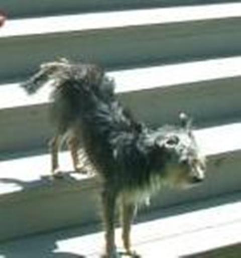 Terrier walking down deck steps.