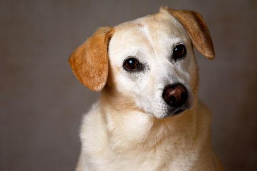 Labrador Retriever Brown Ears