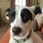 Adopt Lacey23 the Dog